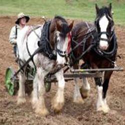 Video - Working Horses on Churchill Island